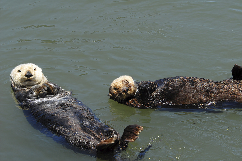Sea Otters - Monterey Bay